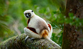 Coquerel's sifaka medium-sized lemur in rain forest trees Madagascar