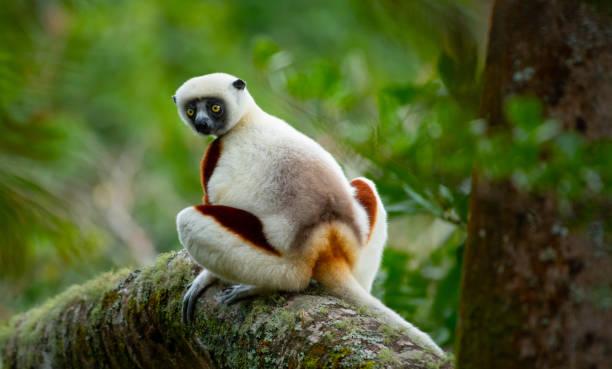 lemur i regnskogen träd madagaskar - lemur bildbanksfoton och bilder