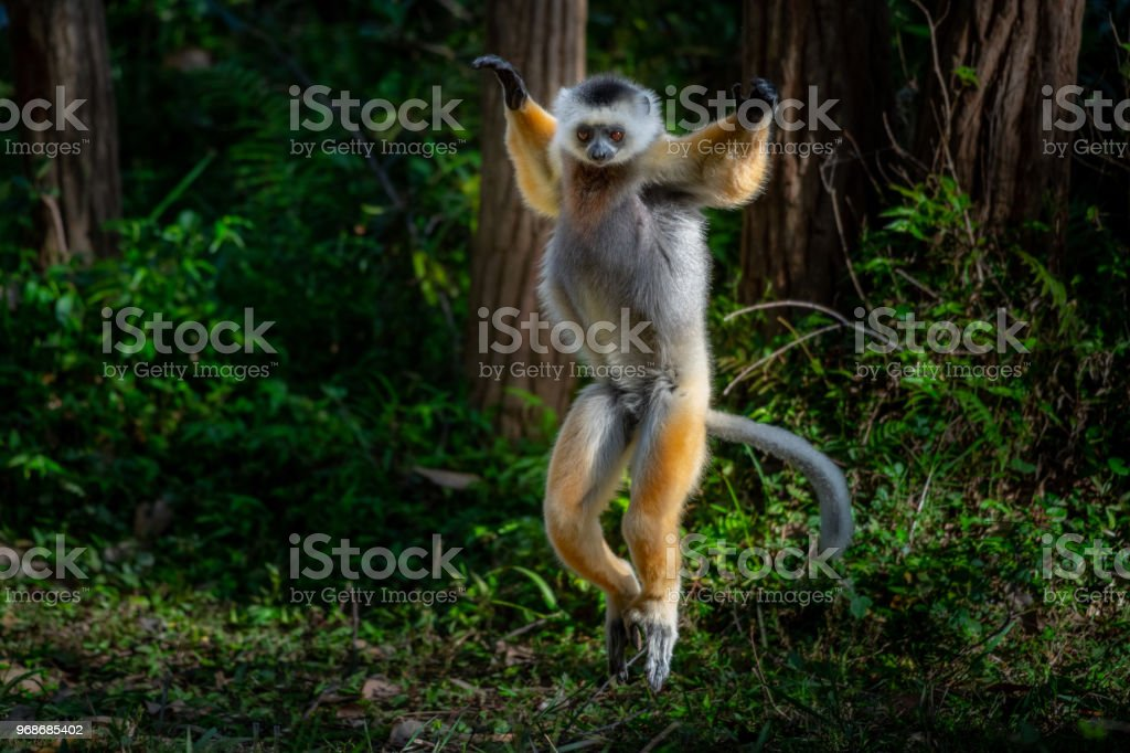 Lemur in rain forest trees Madagascar stock photo