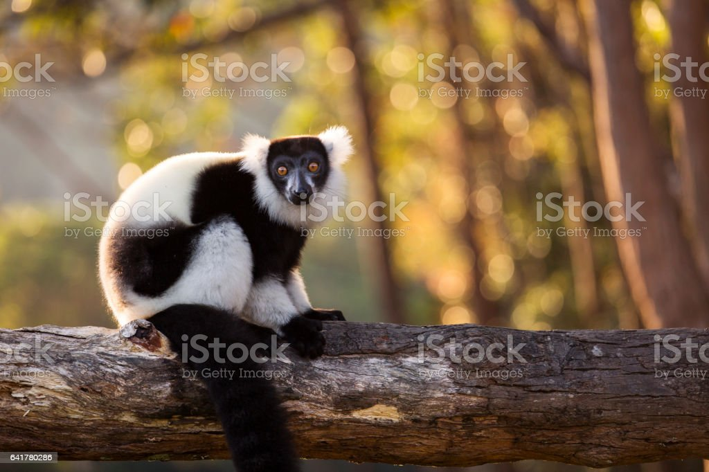 Lemur in their natural habitat, Madagascar. stock photo