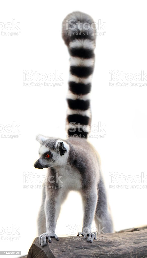lemur isolated stock photo