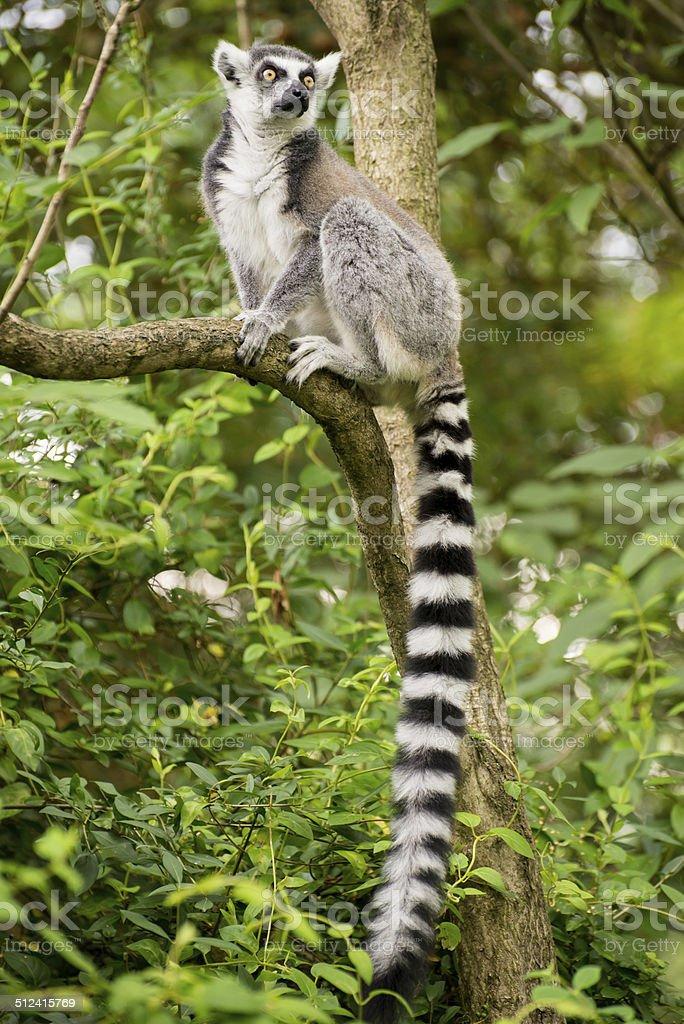 Lemur kata sitting on branch in bushy vegetation stock photo