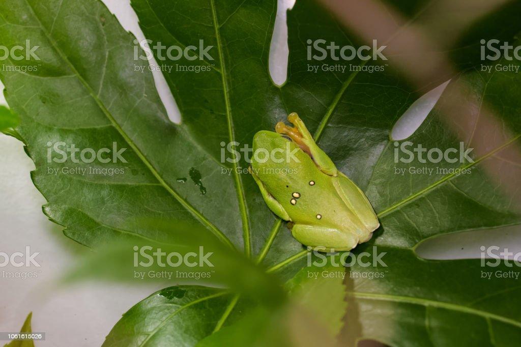 Lemur Blatt Frosch – Foto