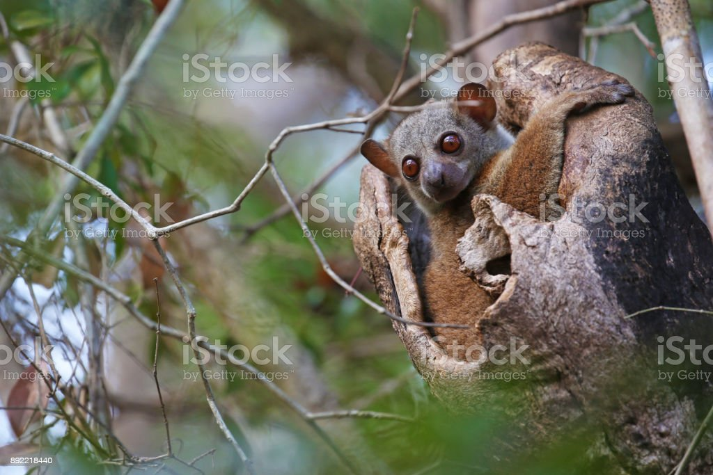 Lemur looking out from its hole stock photo