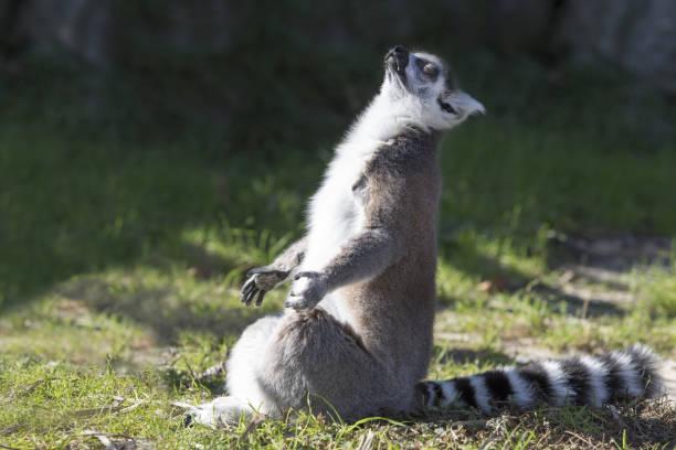 en lemur mediterar - lemur bildbanksfoton och bilder