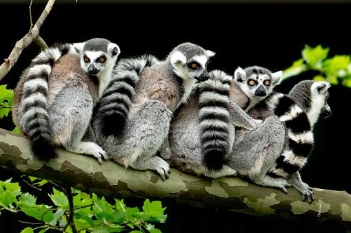 lemur monkey family on a tree