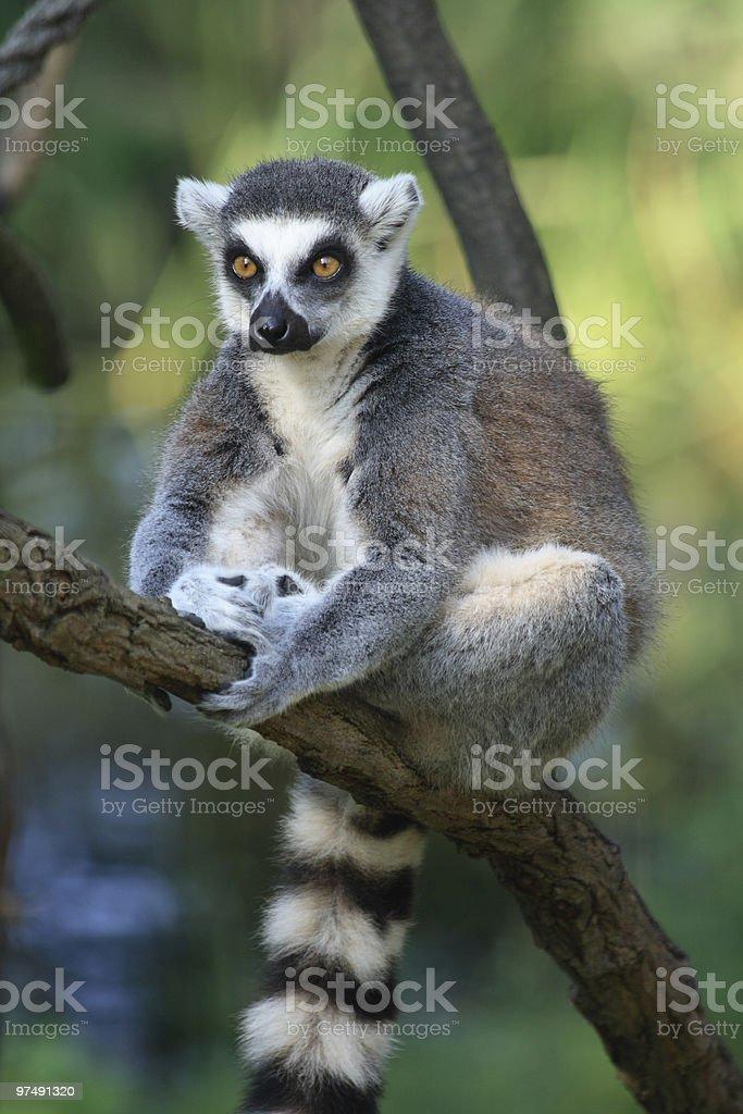 lemur monkey royalty-free stock photo