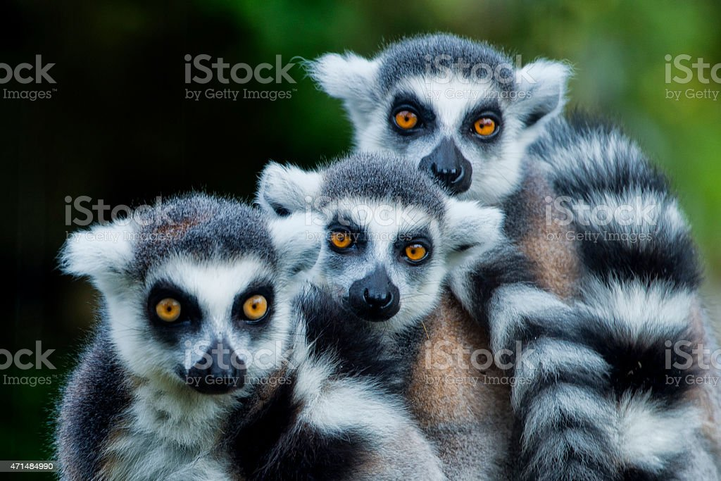 lemur monkey while looking at you stock photo