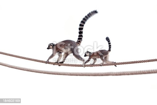 Ring tailed lemur (scientific name: Lemur catta) mother and child walking on rope.