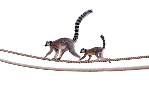 Lemur mother and child on rope Ring tailed lemur (scientific name: Lemur catta) mother and child walking on rope. animal family stock pictures, royalty-free photos & images