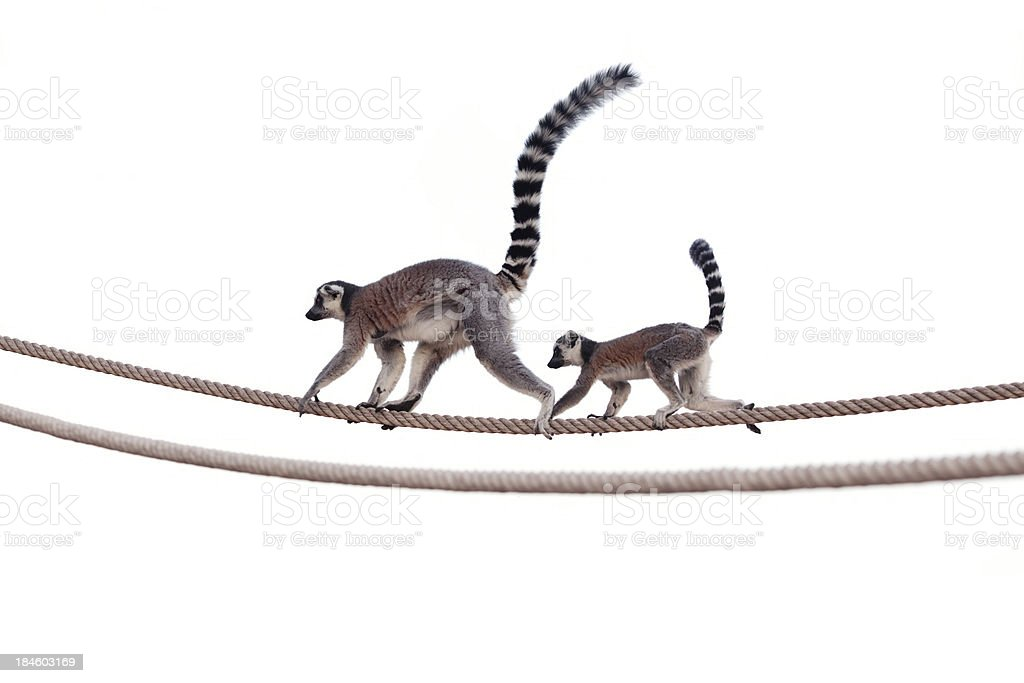 Lemur mother and child on rope stock photo