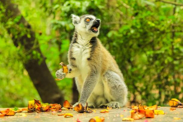 lémur de madagascar - gato civeta fotografías e imágenes de stock