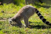 Vector illustration with flat animals, including anteater, Ring-tailed lemur, lemur loris, sloth, Komodo monitor lizard, armadillo, meerkat, tarsier, isolated on white.