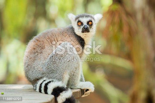 istock Lemur 1133510701