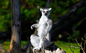 ring-tailed lemur sitting on a branch and staring
