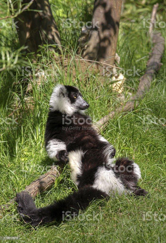 Lemure - foto stock