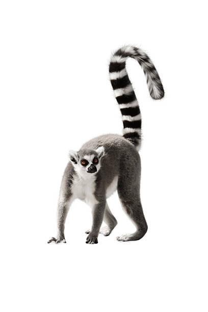 Lémur - foto de stock