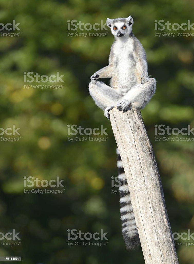 Lemur practicing Yoga (XXXL) stock photo