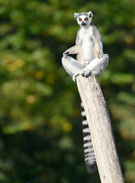 Lemur practicing Yoga (XXXL)  animal tongue stock pictures, royalty-free photos & images