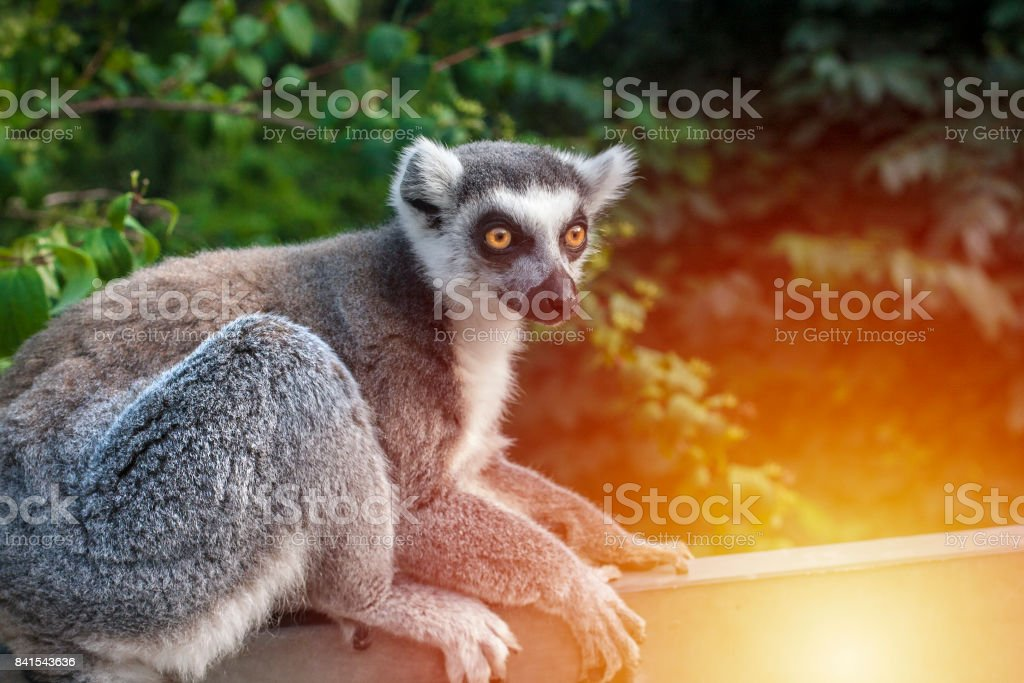 Lemur sitting and looking right stock photo