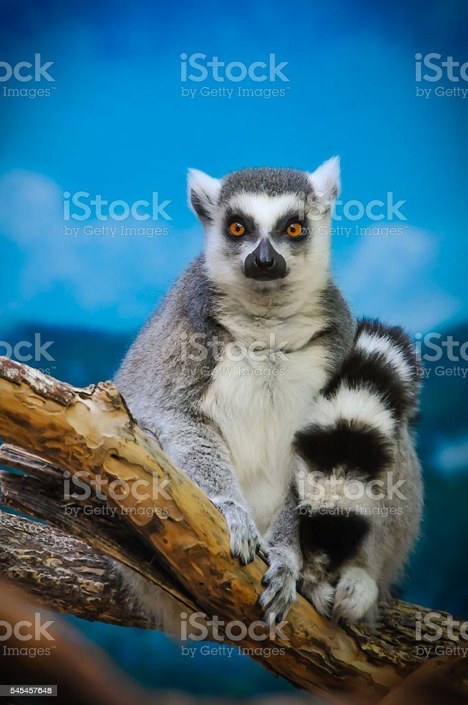 Lemur Sitting on a Branch stock photo