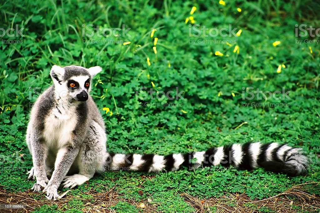 A lemur sitting on the ground in front of green vegetation stock photo