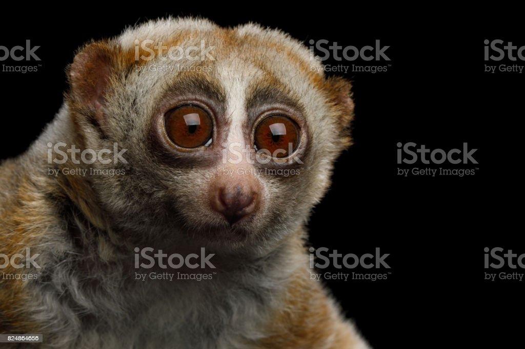 Lemur Slow Loris stock photo