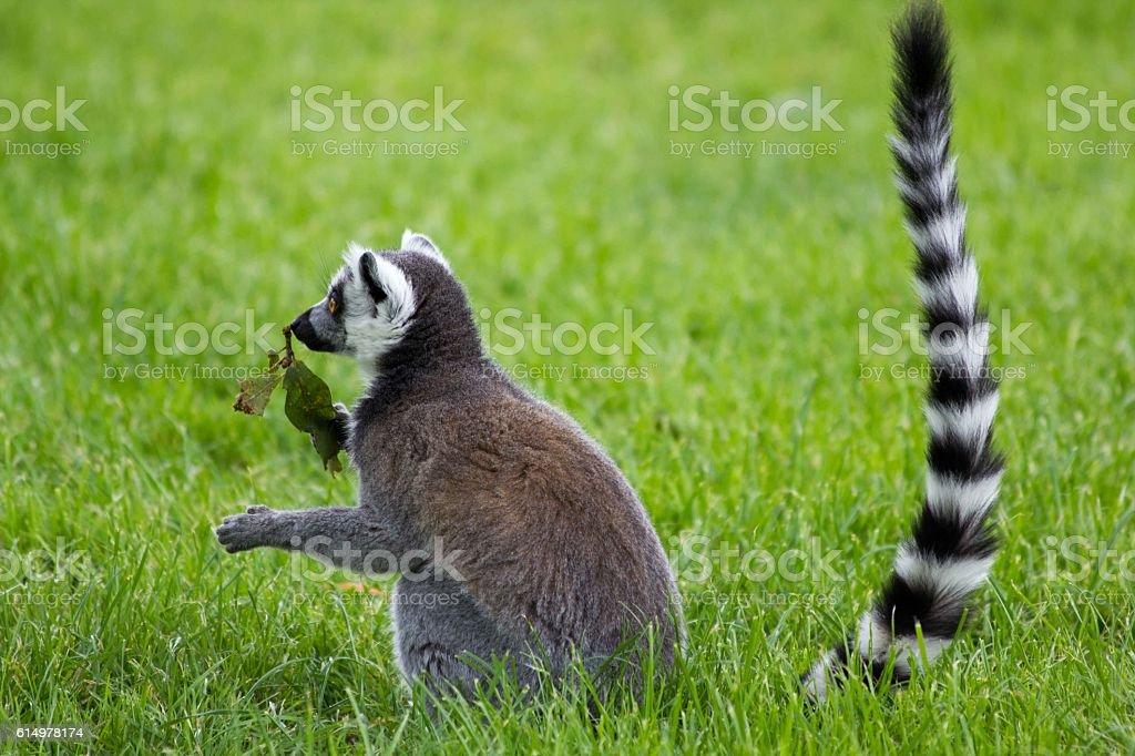 Lemur with a leaf stock photo