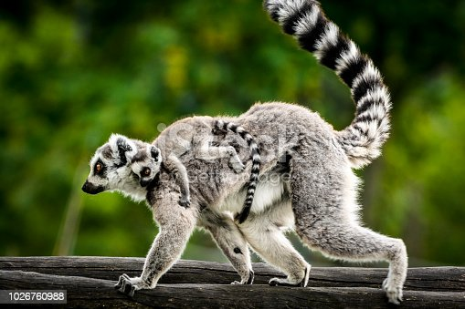 Ring tailed lemur (scientific name: Lemur catta) showing tongue.\n[url=file_closeup.php?id=17736080][img]file_thumbview_approve.php?size=1&id=17736080[/img][/url] [url=file_closeup.php?id=841731][img]file_thumbview_approve.php?size=1&id=841731[/img][/url]