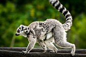 Female of Ring-tailed lemur carries a cub on her back.