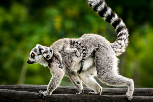 Lemur with baby stock photo