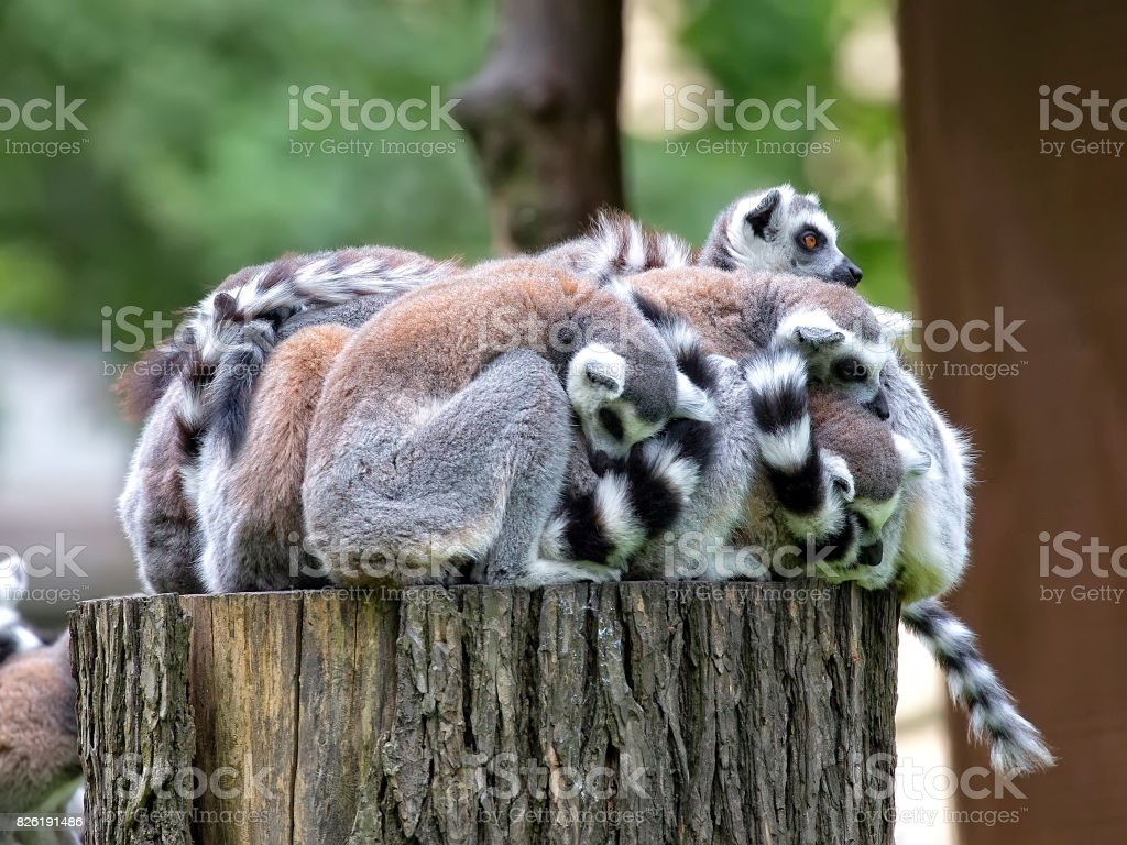 Lemurs family in the forest stock photo
