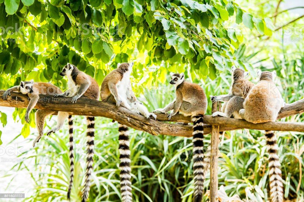 lemurs in chiangmai Thailand stock photo