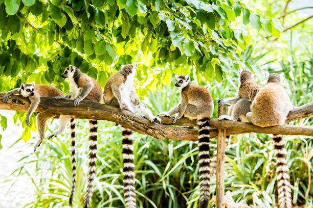 lemurer i chiang mai thailand - lemur bildbanksfoton och bilder