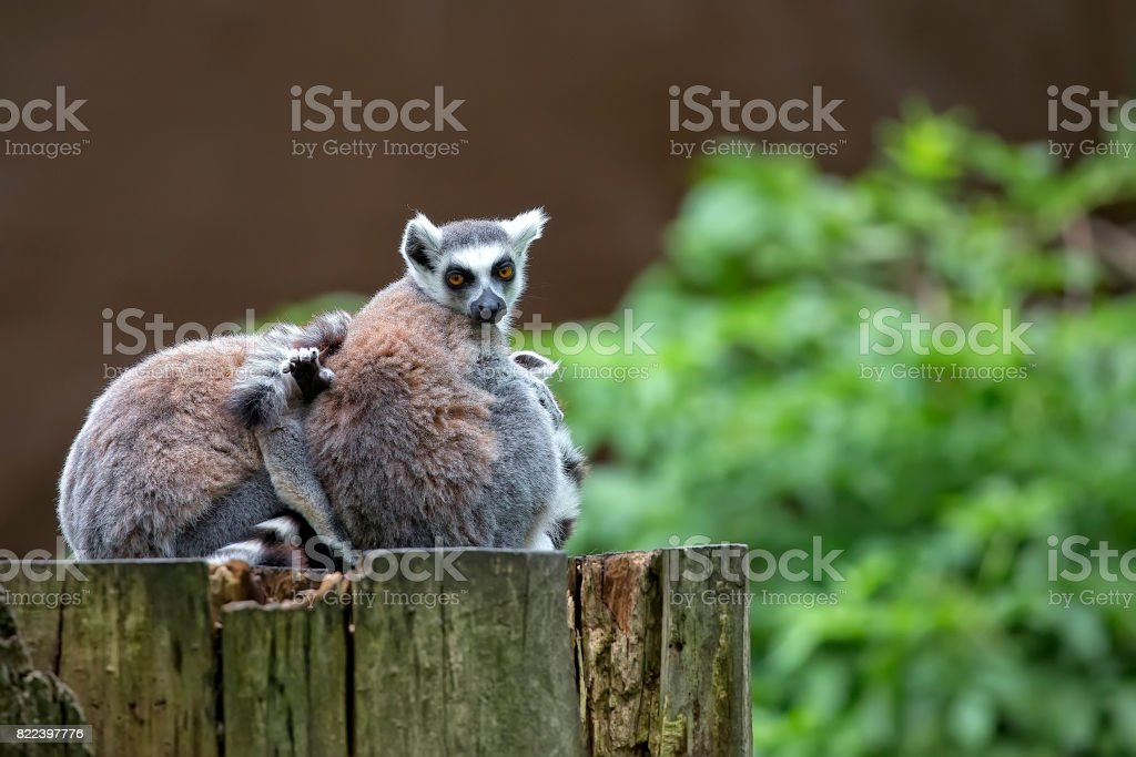 Lemurs in the forest stock photo