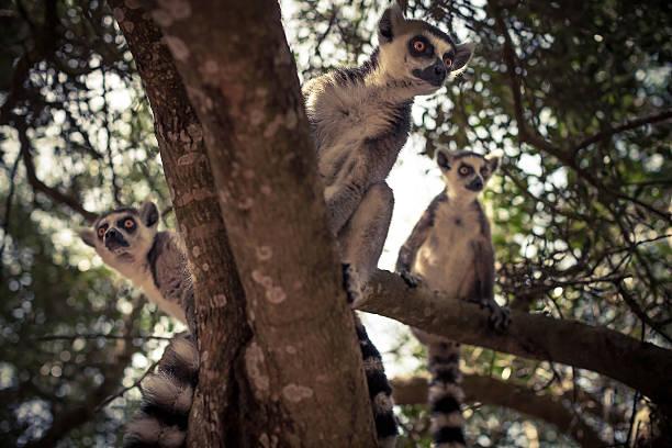 lémur en un árbol - gato civeta fotografías e imágenes de stock