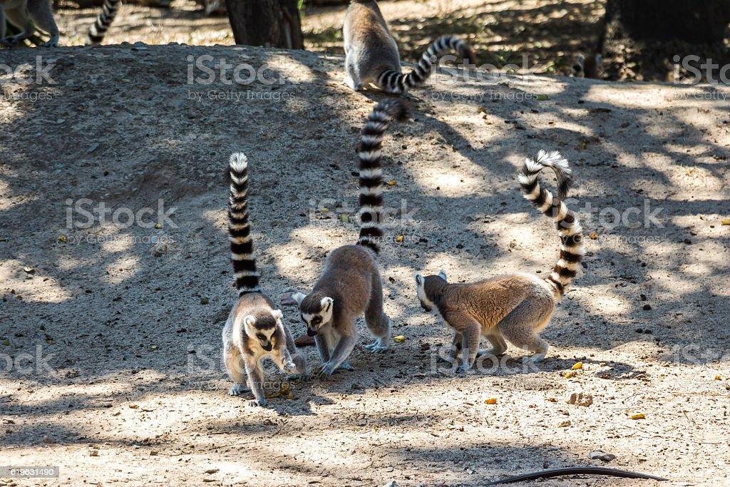 Lemurs playing around together in safari Park stock photo