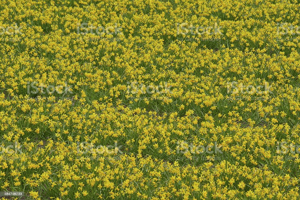 Lent lilly fields in Holland stock photo