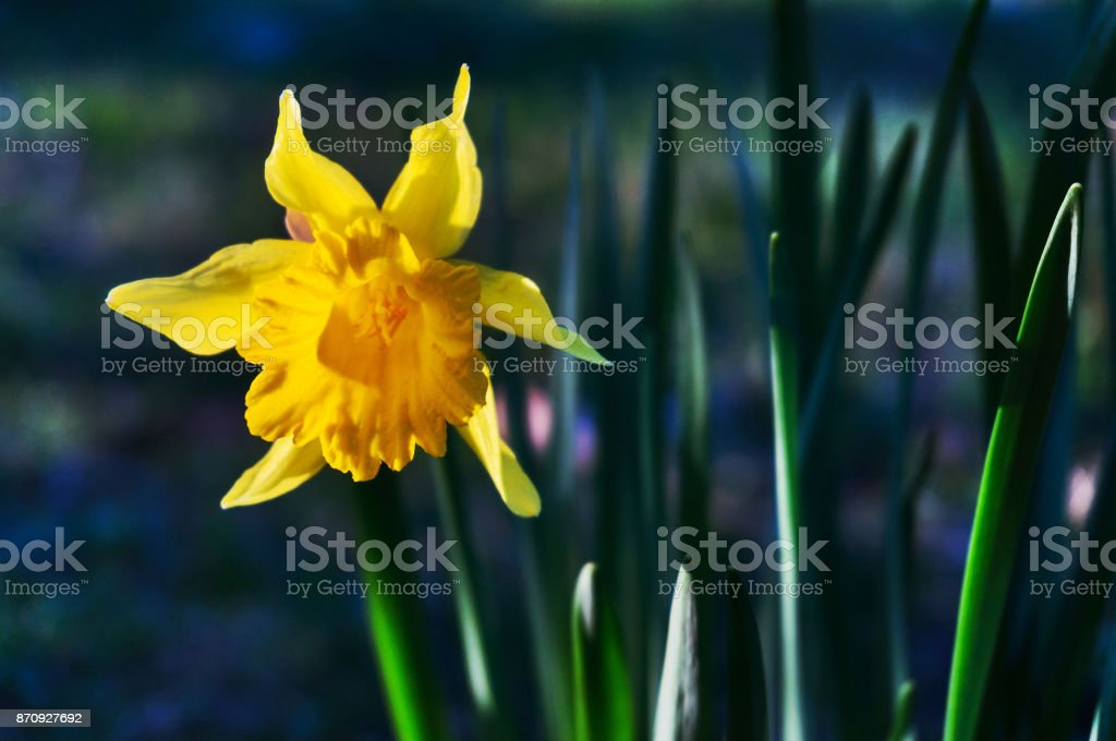Lent lily stock photo