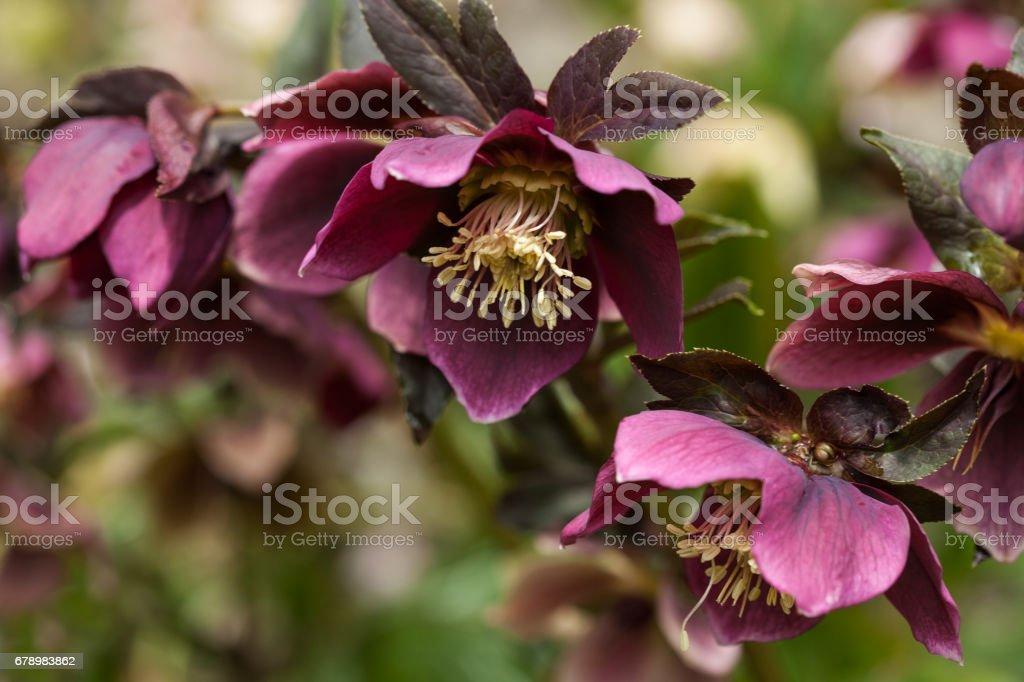 Lenten rose or hellebore flower closeup photo libre de droits