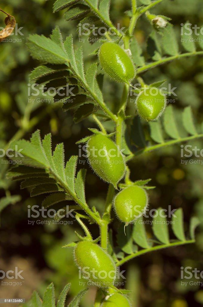 Lentil  organic plant stock photo