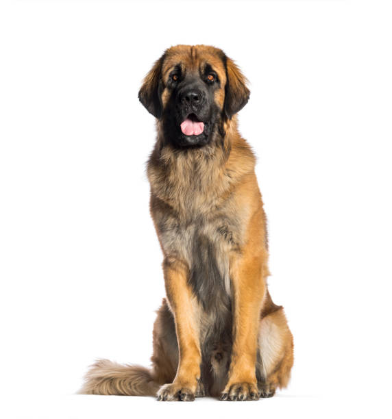 Leonberger 2 years old sitting in front of white background picture id1137631462?b=1&k=6&m=1137631462&s=612x612&w=0&h=qbqicg30fcgxyaxpyh2xrg pmhxl 6wzbt55ae8jmy0=