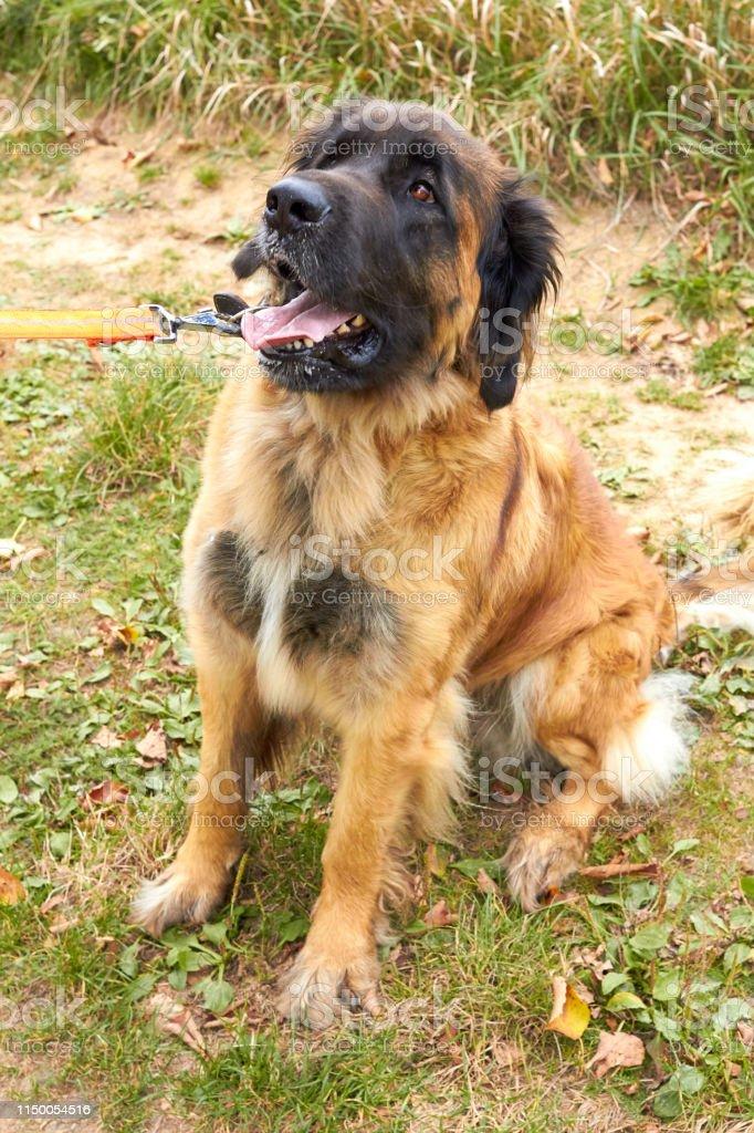 Leonberger. Dog breed Leonberger. The dog walks in nature. A large...