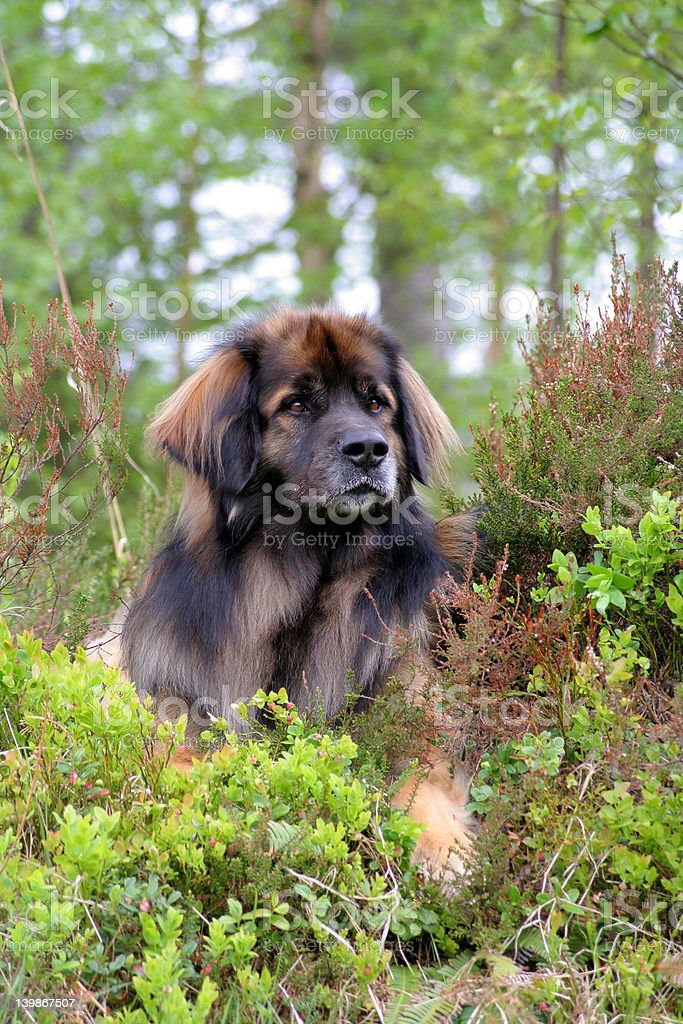 Leonberger royalty-free stock photo
