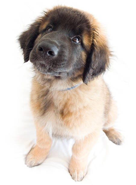 Leonberger puppy picture id144332474?b=1&k=6&m=144332474&s=612x612&w=0&h=tqnazgjeyo1pdqgdbf fcxftbp2geqsthc 1boflg8k=