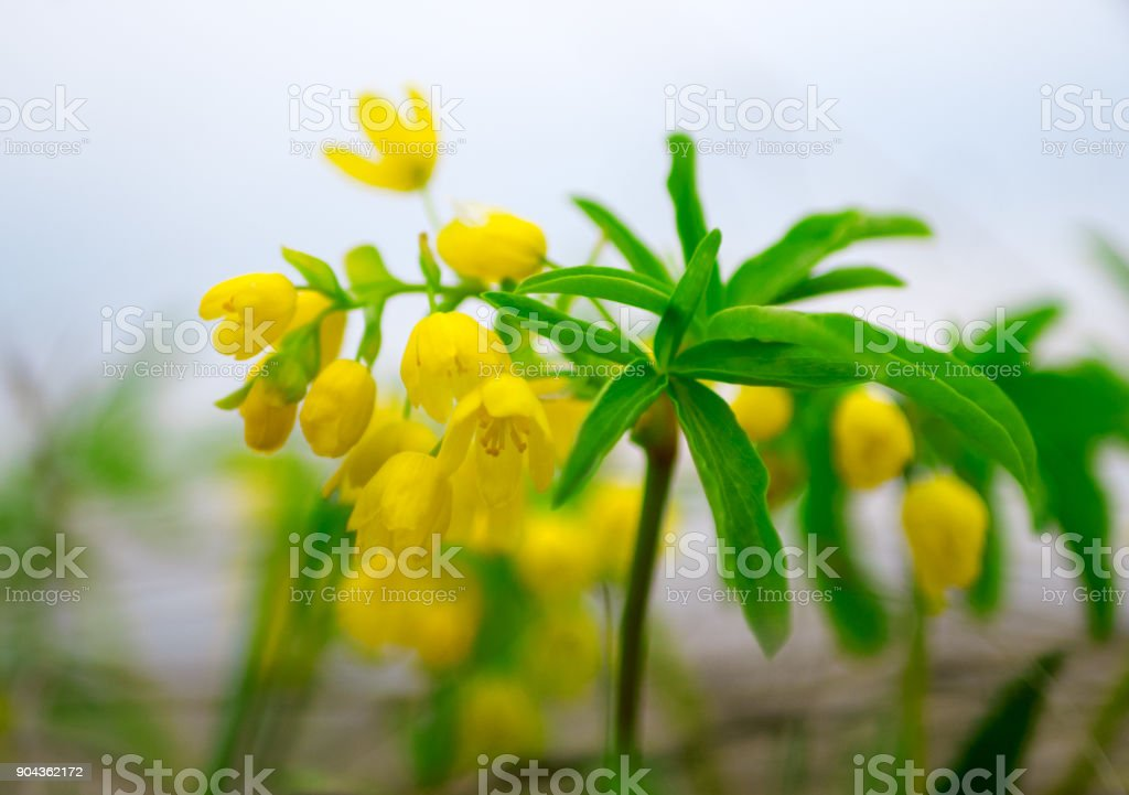 Leontice (Gymnospermium odessanum) flowering in spring meadow. stock photo