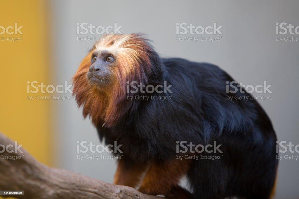 Leontopithecus chrysomelas - Leontocebo dalla testa dorata - foto stock