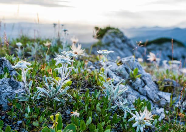 Leontopodium nivale subsp. alpinum doğal dağ ortamında meydana gelen. stok fotoğrafı