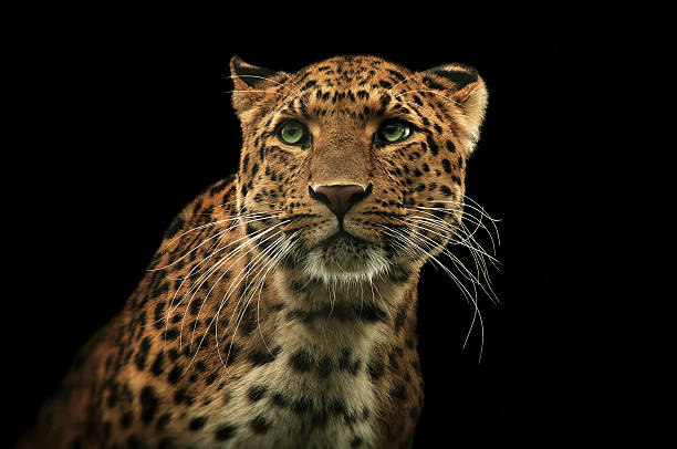 leopard 2 - big cat stock pictures, royalty-free photos & images