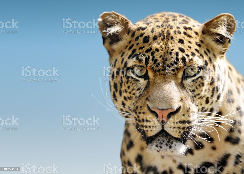 Leopard Against Blue Sky stock photo